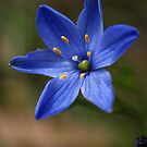 Blue Star (Chamaescilla corymbosa) - Mt Cannibal by Bev Pascoe
