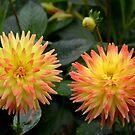 Yellow-red dahlias by Arie Koene