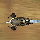 Drake pintail in reflected evening light by wildlifephoto