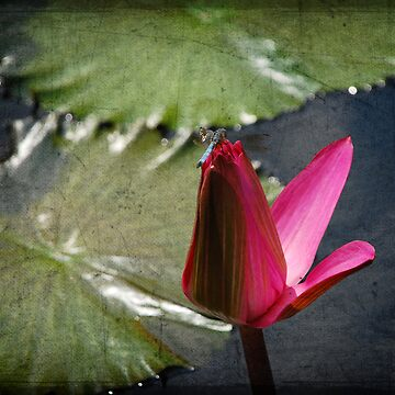 Dragonfly on the Lily II by camerainhand