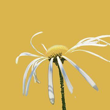 Blown daisy by woolcos