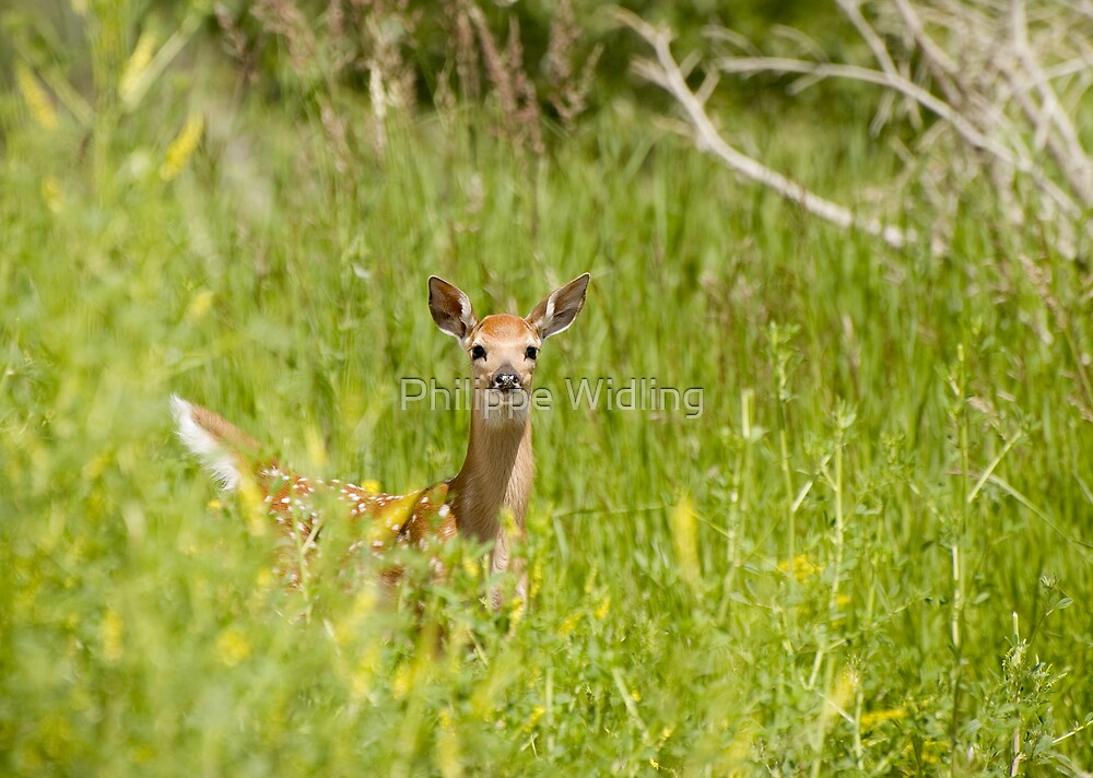 White-tailed fawn. by Philippe Widling
