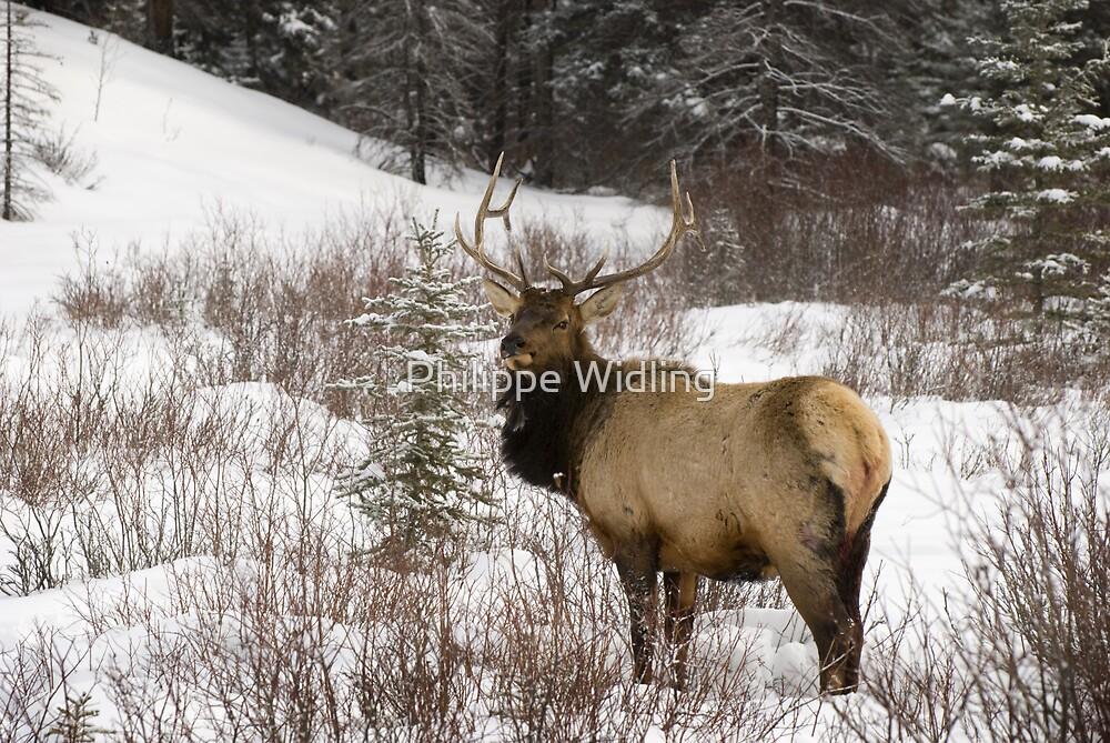 Elk in snow by Philippe Widling
