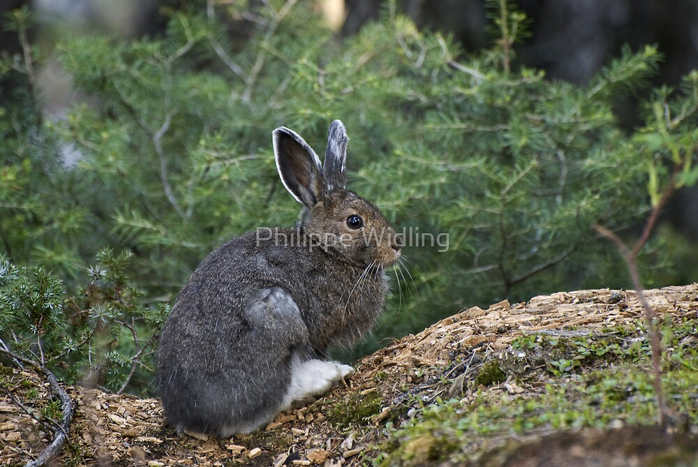 Cottontail rabbit. by Philippe Widling