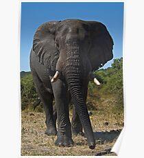 African Elephant (Loxodonta africana) Poster