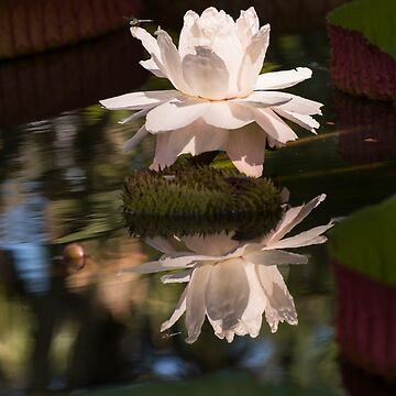 Dragonfly on Giant Victoria Cruziana waterlily  by ZinaStromberg