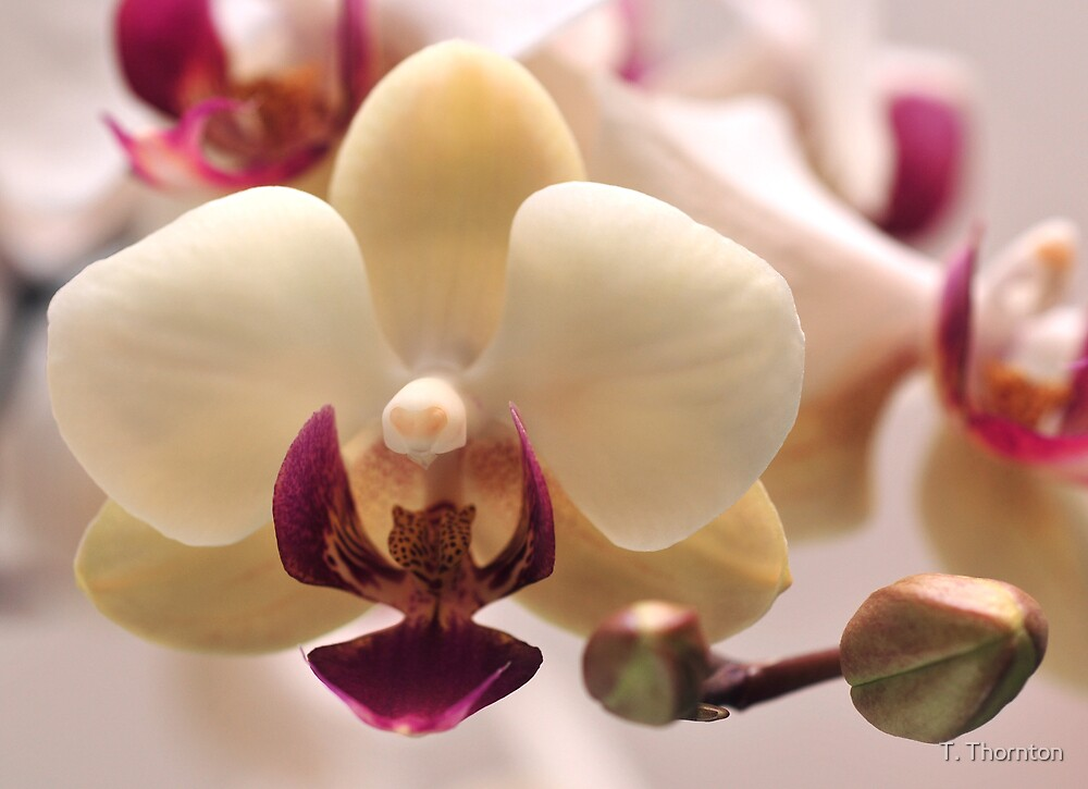 Orchid Up Close by T. Thornton
