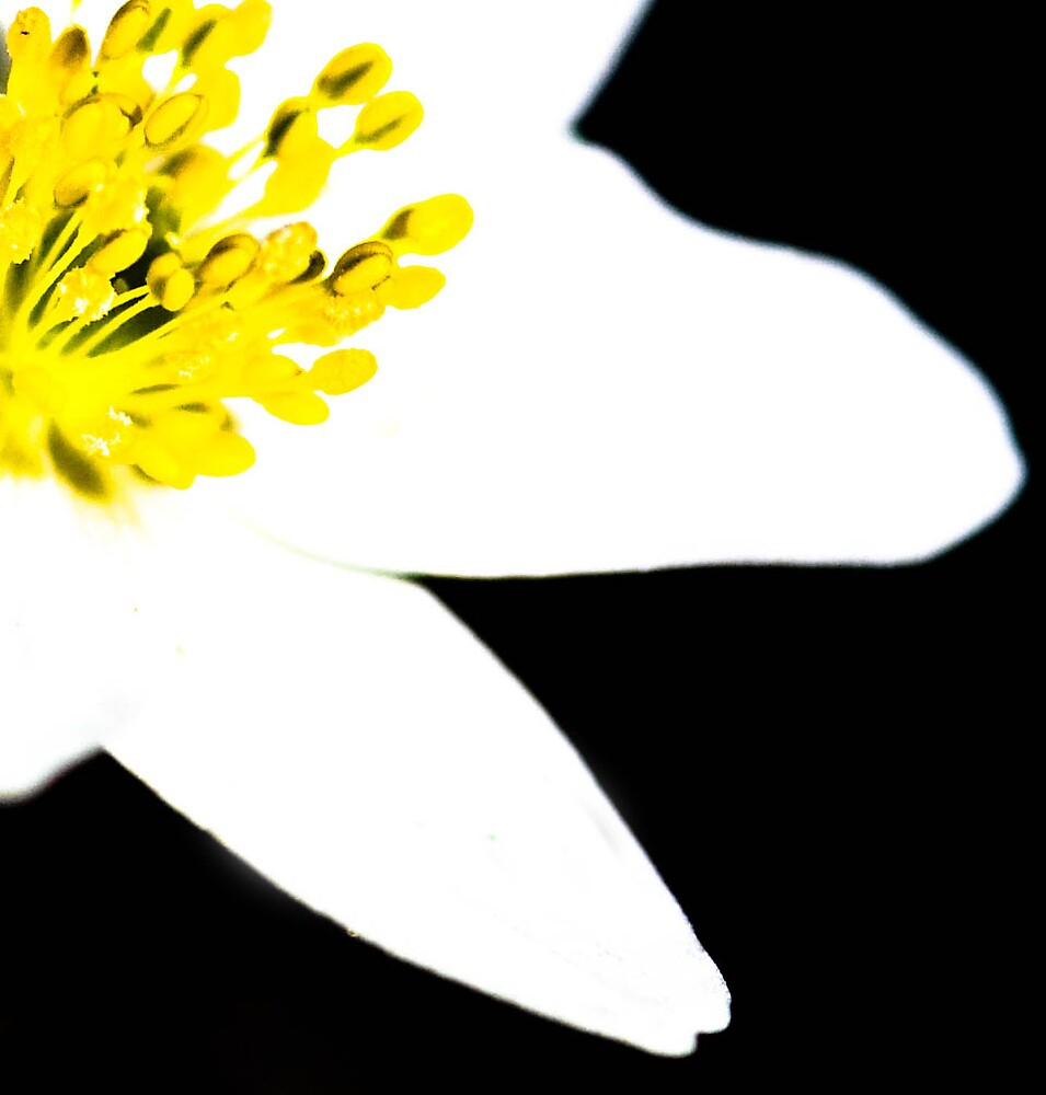 White Flower by Bunsen