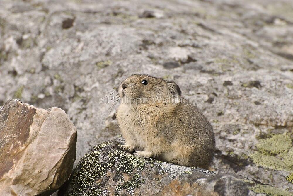 Pika by Philippe Widling