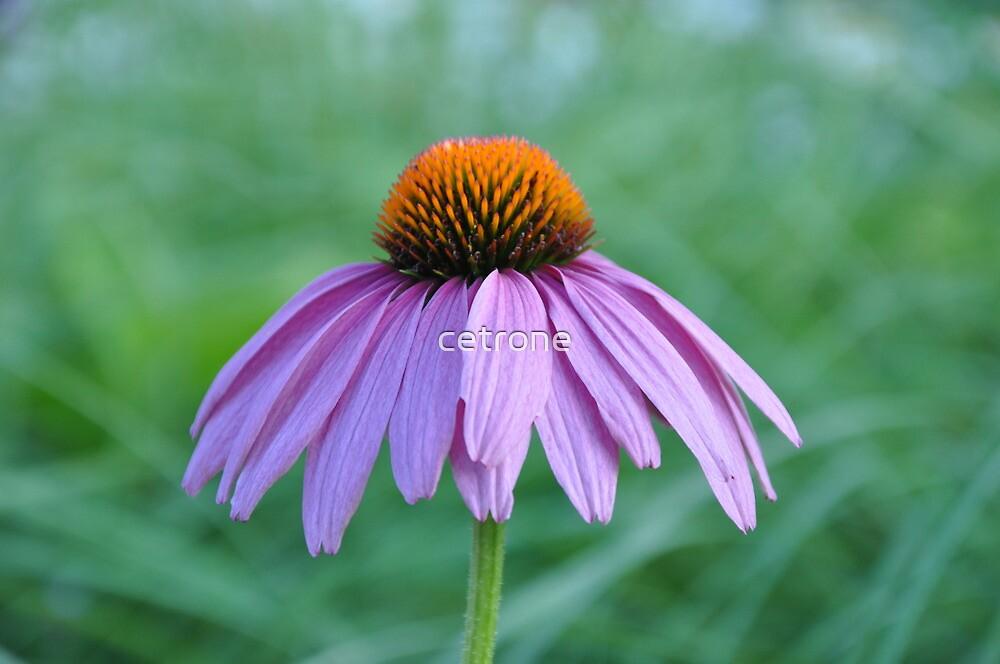 purple cone by cetrone