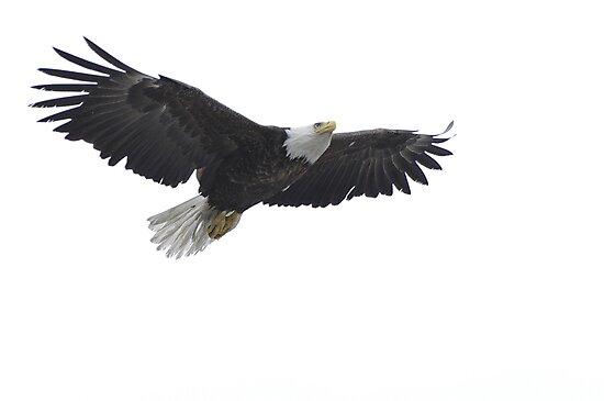 The Approach - American Bald Eagle by Barbara Burkhardt