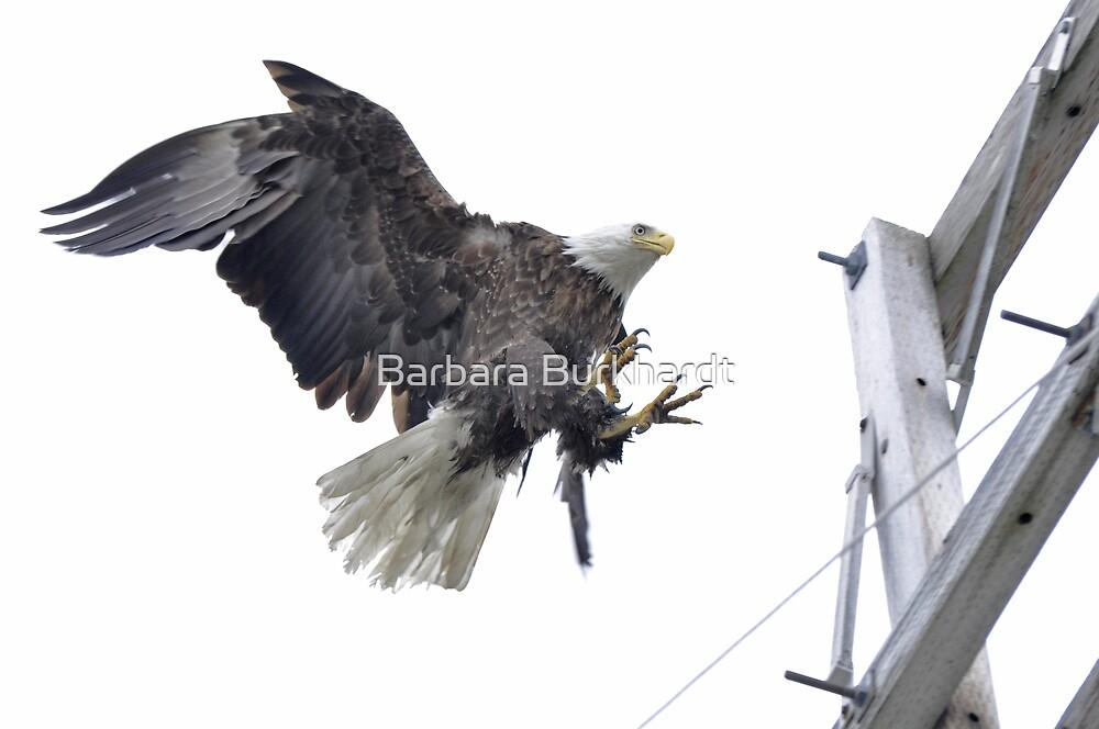 Landing Location - American Bald Eagle by Barbara Burkhardt