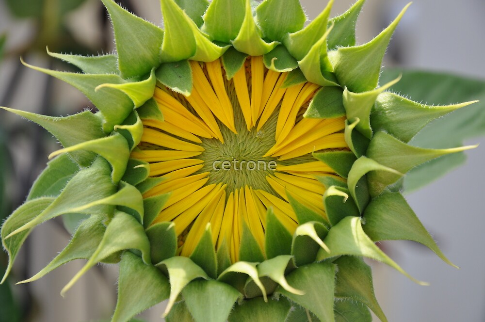 sunflower_5 by cetrone