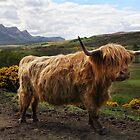 Highland Cow - Scottish Highland Cow by Martina Cross