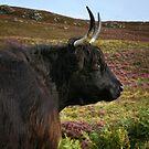 Scottish Highland Cow - Scottish Highland Cow by Martina Cross