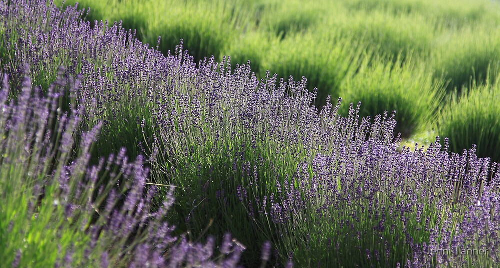 Lavender lines by Jenni Tanner