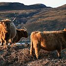 Scottish Highland Cattle - Scottish Highland Cow by Martina Cross