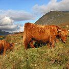 Scottish Highland Cattle - Scottish Highland Cattle by Martina Cross