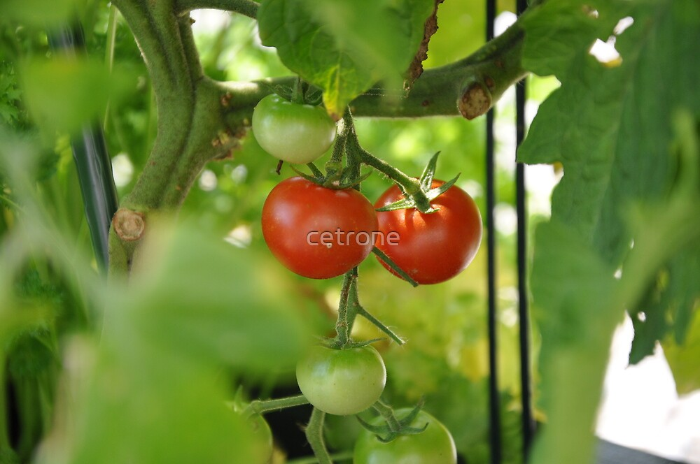 couple tomato by cetrone