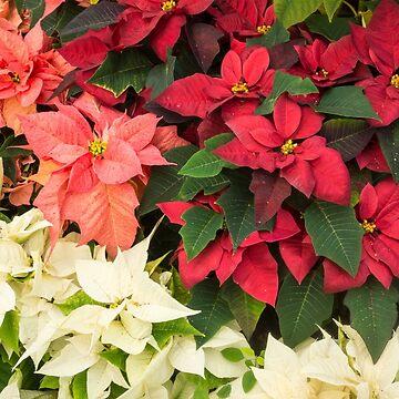Christmas Stars Medley - Multicoloured Poinsettias Celebrating the Holy Season by GeorgiaM