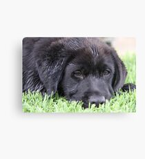 Sleepy 'Butch' Canvas Print