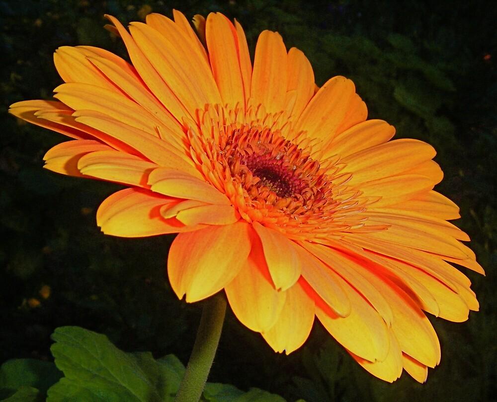 Orange Delight. by Gabrielle  Hope