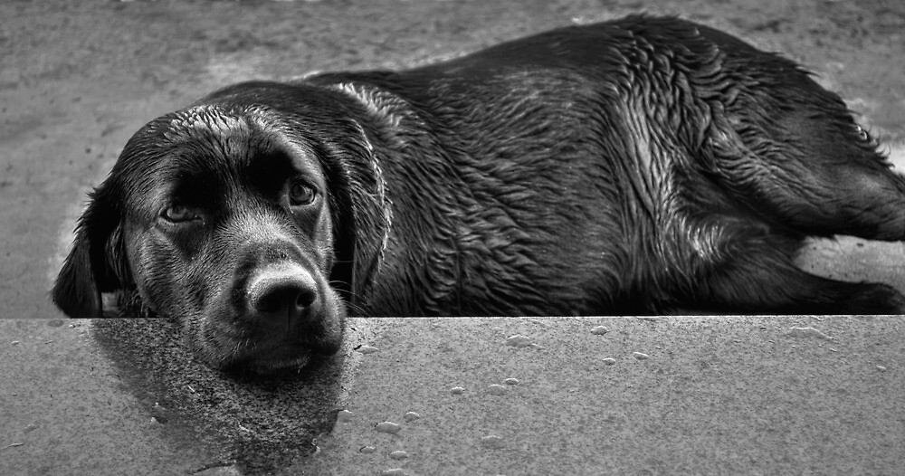 Dog after shower by davidcemin