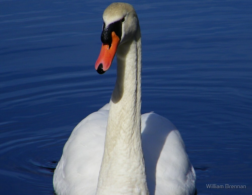Mute swan looking for a handout. by William Brennan