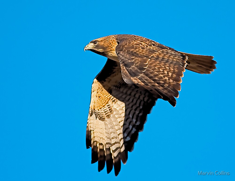 1101094 Red Tailed Hawk by Marvin Collins
