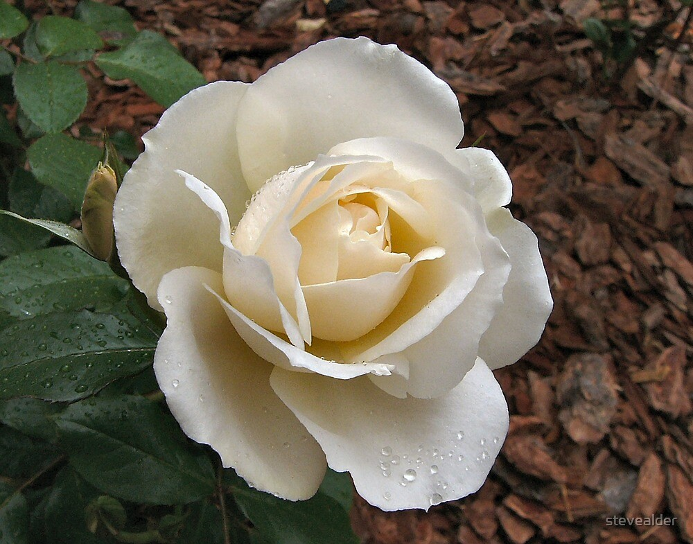 White Rose - Up Close by stevealder