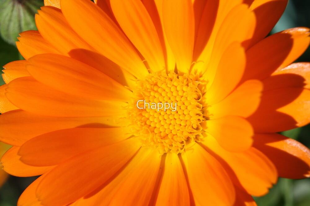 Orange beauty by Chappy