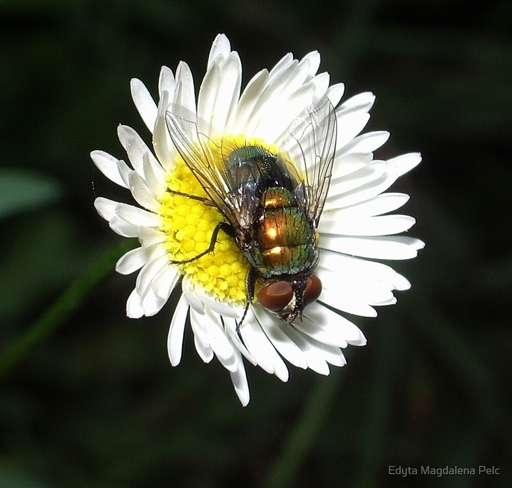 daisy and the fly by Edyta Magdalena Pelc