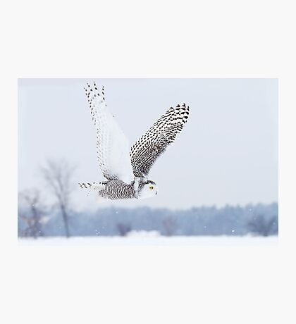 Snowy Owl Photographic Print