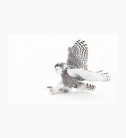 Snowy Owl catching prey Photographic Print