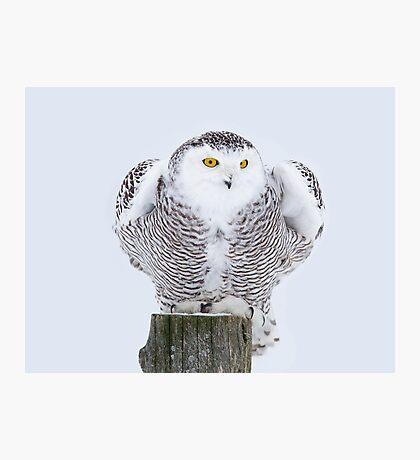 Perch - Snowy Owl Photographic Print