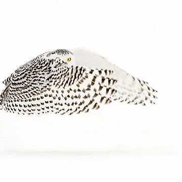 The Count - Snowy Owl by darby8