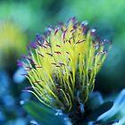 Sonnenbeschienes Graublattkissen - Leucospermum Grandiflorum von imaginethis