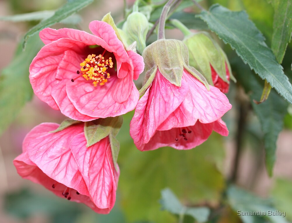 Hibiscus Trio by Samantha Bailey