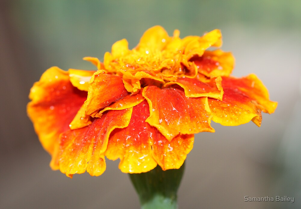 Marigold by Samantha Bailey