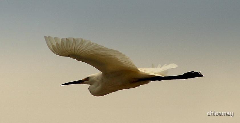 """""""ibis in flight"""" by chloemay"""