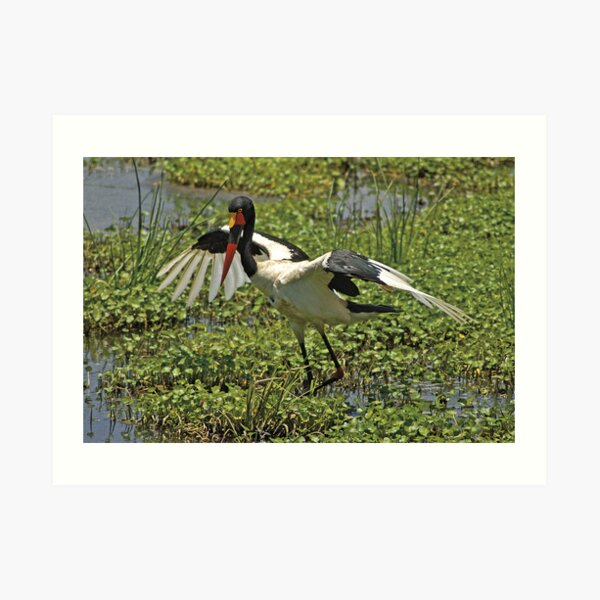 Saddle-billed Stork Art Print