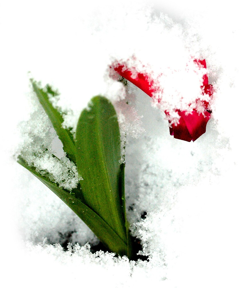 White out - a snowed in Tulip by pixielation
