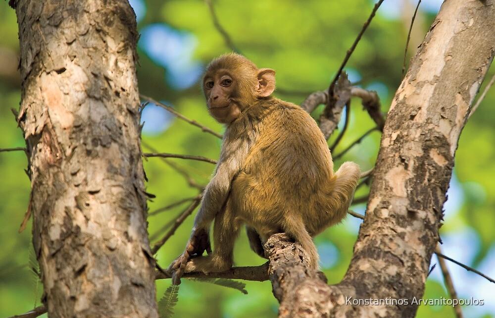 Rhesus Macaque (Macaca mulatta) by Konstantinos Arvanitopoulos