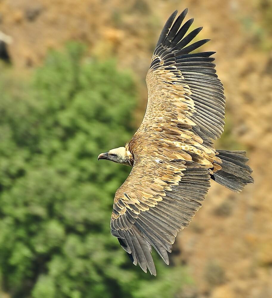griffon vulture - gamla by maherodeh