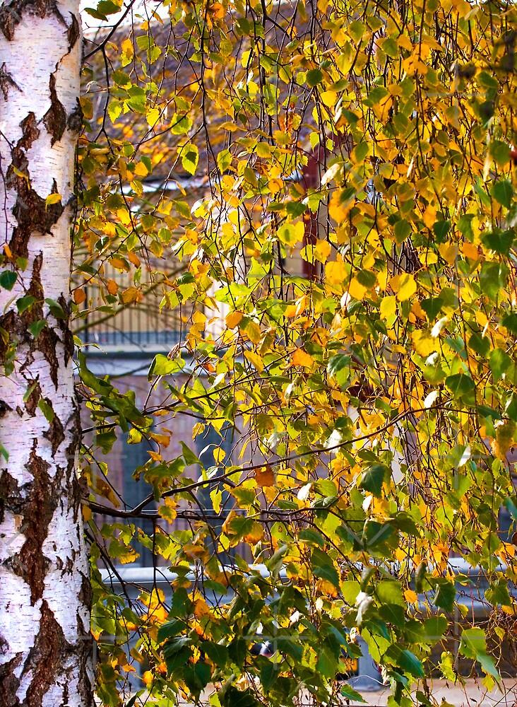 Silver Birch in Autumn by Geoff Carpenter