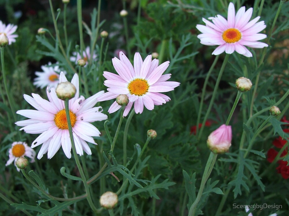 Daisies (3105) by ScenerybyDesign