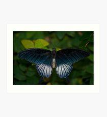 Papilio Memnon, The Great Mormon Swallowtail  Art Print