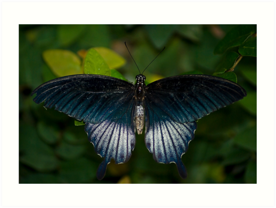 Papilio Memnon, The Great Mormon Swallowtail  by RatManDude