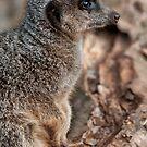 Schlank Tailed Erdmännchen (Suricata suricatta) von Jay Lethbridge