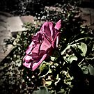 Rose in Profile by justminting